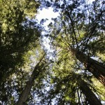 Armstrong Redwoods_0173