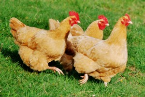 Chickens Running...Oh man. It's the best!!!
